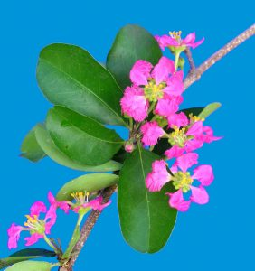 Acerola Flower