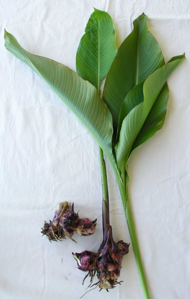 Queensland Arrowroot