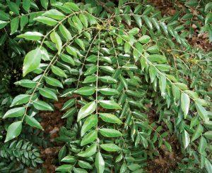 Curry Leaf Tree