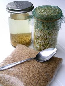 Fenugreek seeds and sprouts in jars