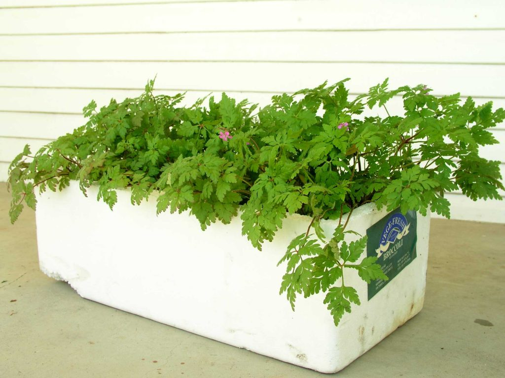 Herb Robert box