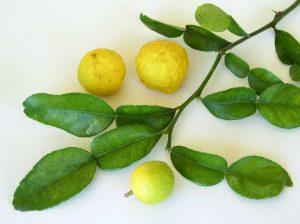 Kaffir Lime fruit and leaves