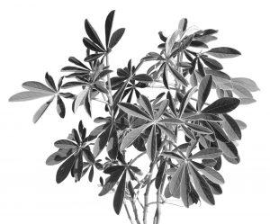 Legume, Crotalaria Grahamani