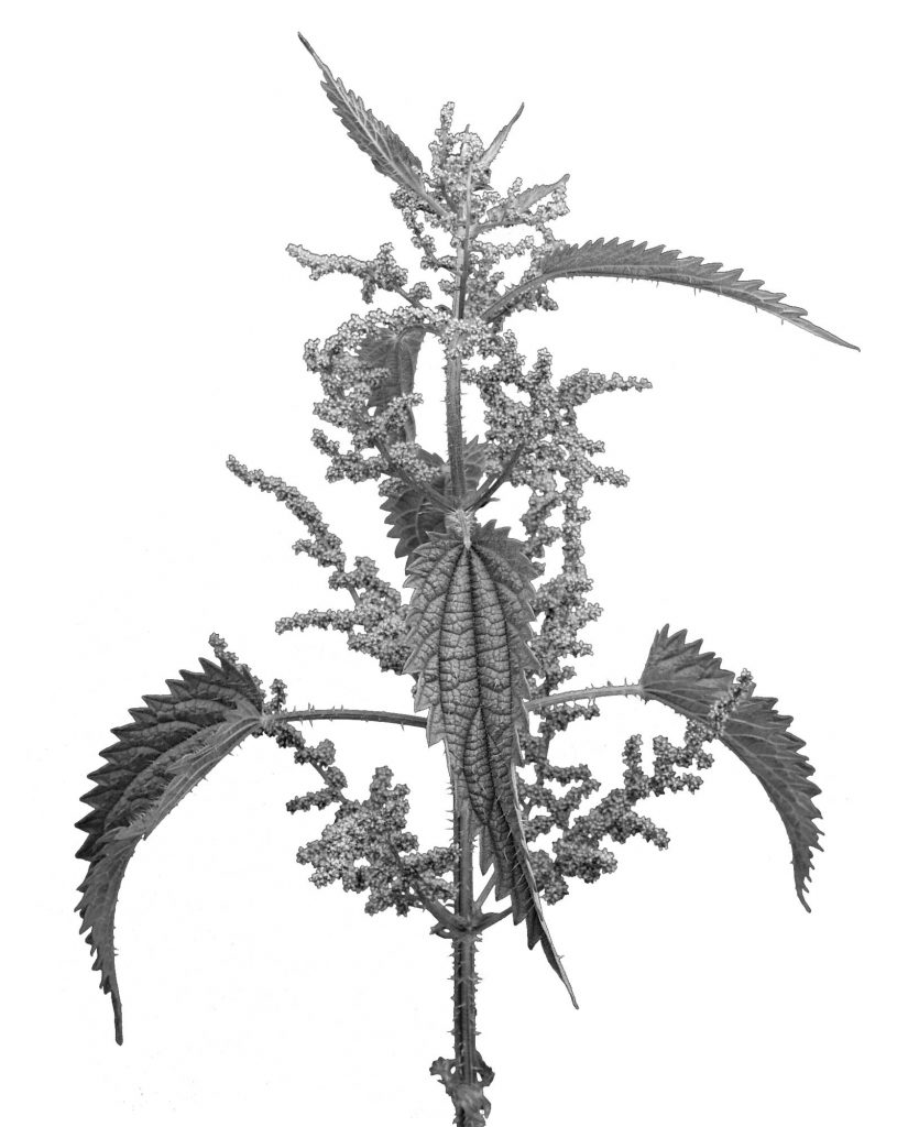 Nettle Urtica Dioica