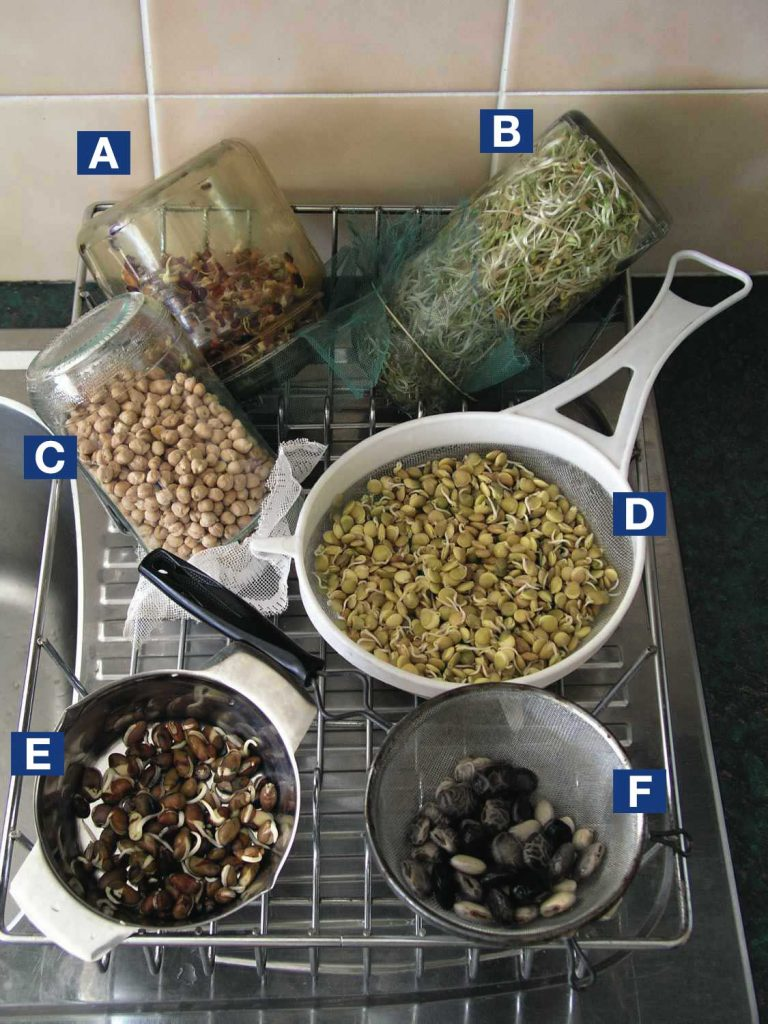 Sprouting in jars and sieves on kitchen sink drainer... A. rice bean B. fenugreek C. chickpeas D. lentils E. seven year bean F. mucuna.