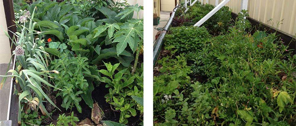 Isabell Shipard's herb garden