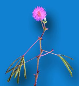 Sensitive Plant (closed)