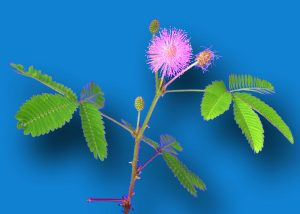 Sensitive Plant (open)